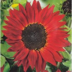 Helianthus annuus 'Crimson...
