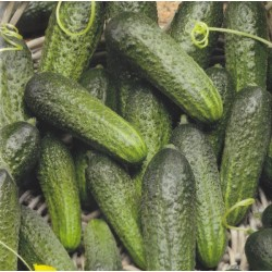 Cucumber 'Elisabet F1'