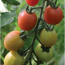 Cherry Tomato 'Sunpeach F1'