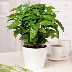 Coffea arabica, Ægte kaffe