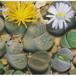 Lithops mixture, Levende sten