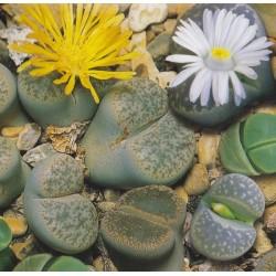 Lithops mixture, Living Stones