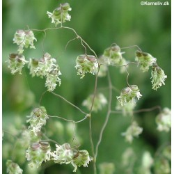 Briza media, Quaking Grass