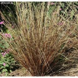 Carex buchananii,...