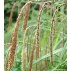 Carex pendula, Kæmpestar