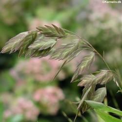 Chasmanthium latifolium,...