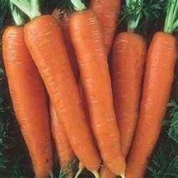 Carrot 'Nantes 2', Organic
