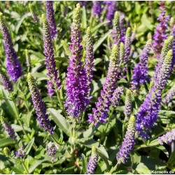 Veronica spicata, Spiked...