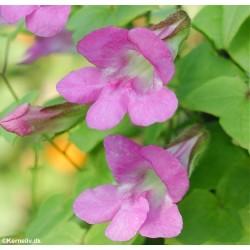 Asarina scandens 'Mystic rose'