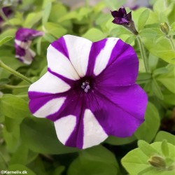 Petunia x hybrida 'Shock...