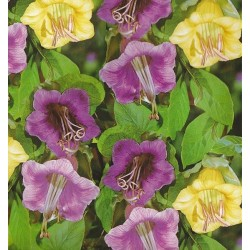 Cobaea scandens 'Mixture',...