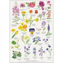Plakat A2 - Spiselige Blomster