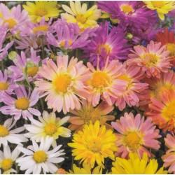 Chrysanthemum indicum 'Mix'