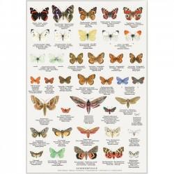 Plakat A2 - Sommerfugle