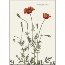 Art print A3 - Prickly poppy