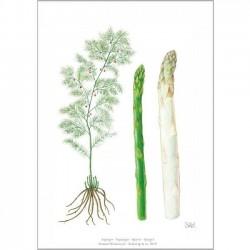 Art print A4 - Asparagus