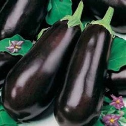 Eggplant 'Early long purple 2'