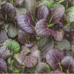 Calendula officinalis 'Mix', Pot Marigold - Organic