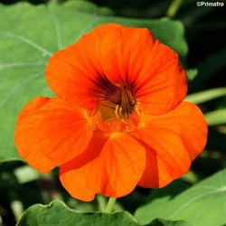 Tropaeolum majus 'Tropical...