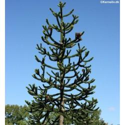 Araucaria araucana, Abernes...