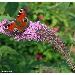 Buddleja davidii, Butterfly...