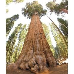 Sequoiadendron giganteum,...