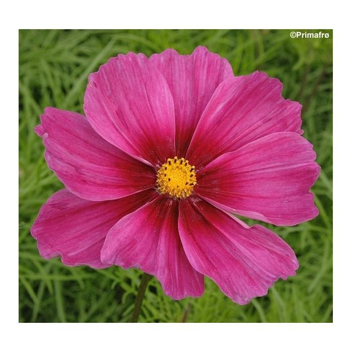 Tropaeolum minus 'Ladybird Rose', Blomsterkarse