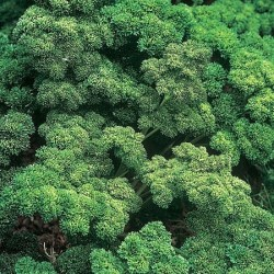 Kruspersille 'Moss Curled...