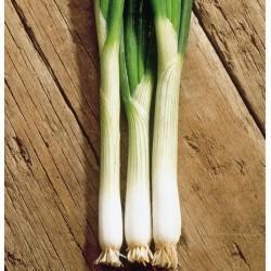 Spring Onion 'Ramrod', Organic