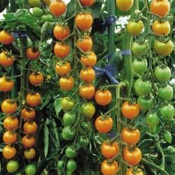 Cherry Tomato 'Sungold F1'