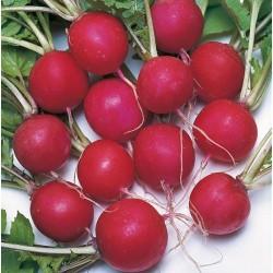 Radish 'Saxa 2', Organic