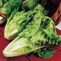 Lettuce, Cos 'Verde Degli...