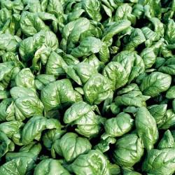 Spinach 'Matador', Organic