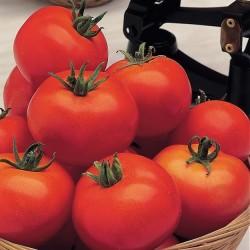 Tomat 'Ace 55 VF', Økologisk