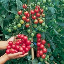 Cherry Tomato 'Sweet...