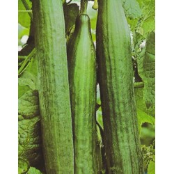 Cucumber 'Superstar F1'