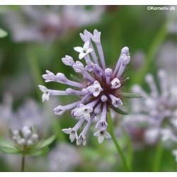 Asperula orientalis, Blue...
