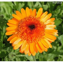 Calendula off. 'Princess...