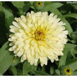 Calendula officinalis...