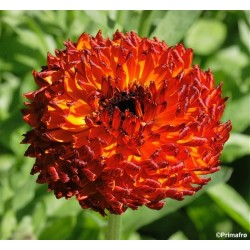 Calendula officinalis...