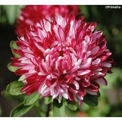 Callistephus chinensis 'Red...