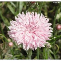 Centaurea cyanus 'Pink...