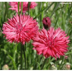 Centaurea cyanus 'Red boy',...