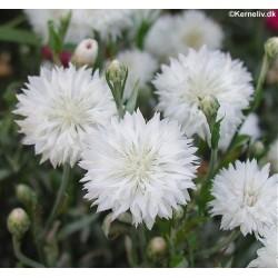 Centaurea cyanus 'Snowman',...