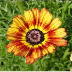 Chrysanthemum carinatum...