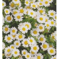Chrysanthemum paludosum,...