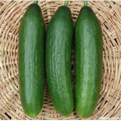 Cucumber 'Baby F1'