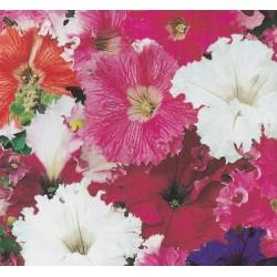 Petunia x hybrida fimbriata...