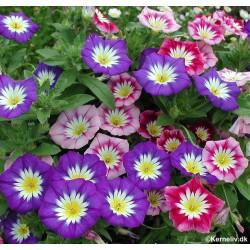 Convolvulus tricolor,...