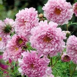 Cosmos bipinnatus 'Rose...